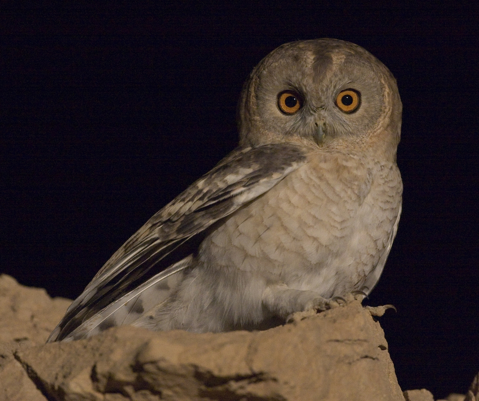 The Desert Tawny Owl (Strix aluco) is a different species from Hume's Owl