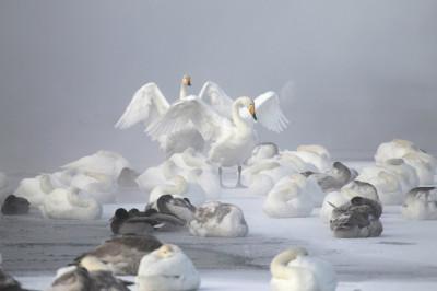Swan lake Altai Russia