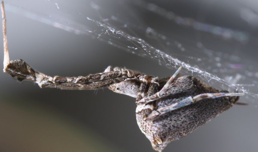 The 'garden centre spider' Uloborus plumipes weaves incredibly thin webs that are electrically charged to trap prey