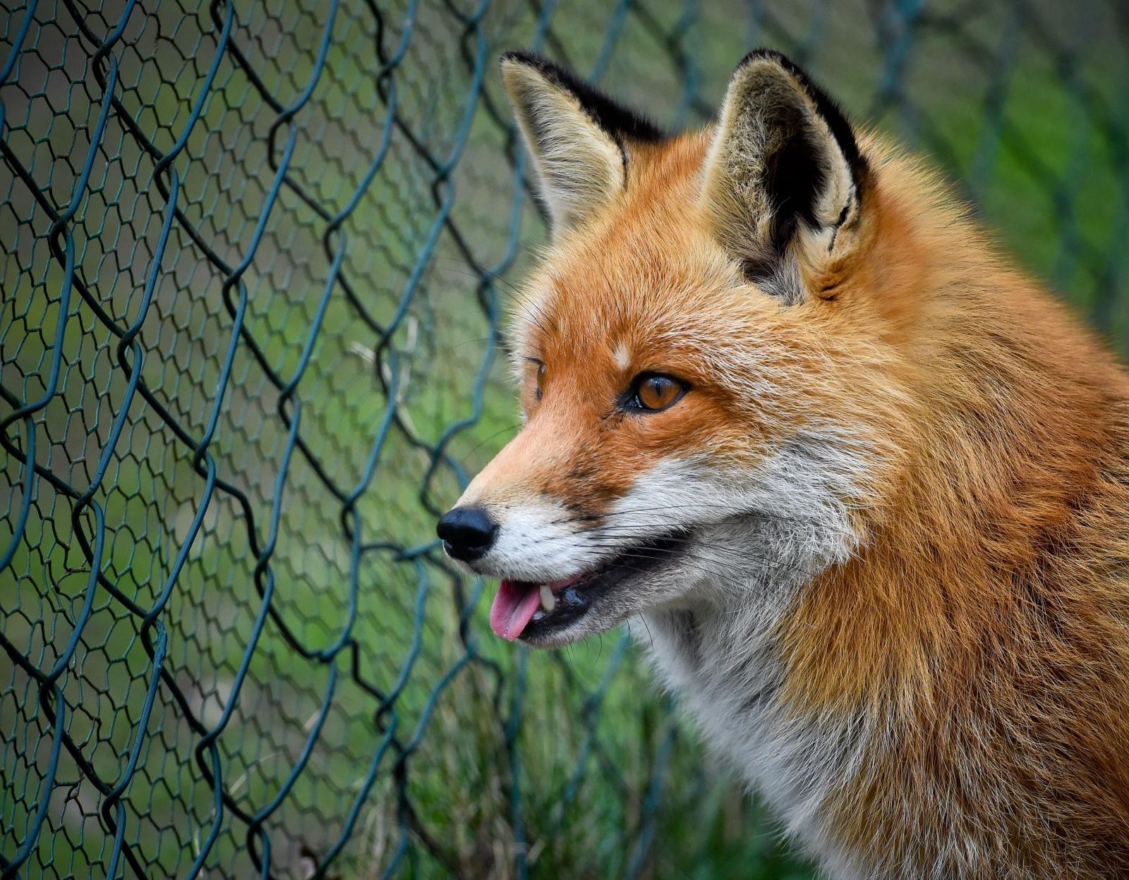 Foxes craving brake fluid blamed for car problems