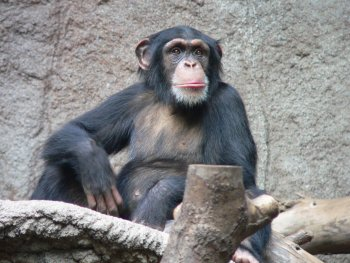 There are several chunks of DNA in chimpanzees that have been deleted in modern humans
