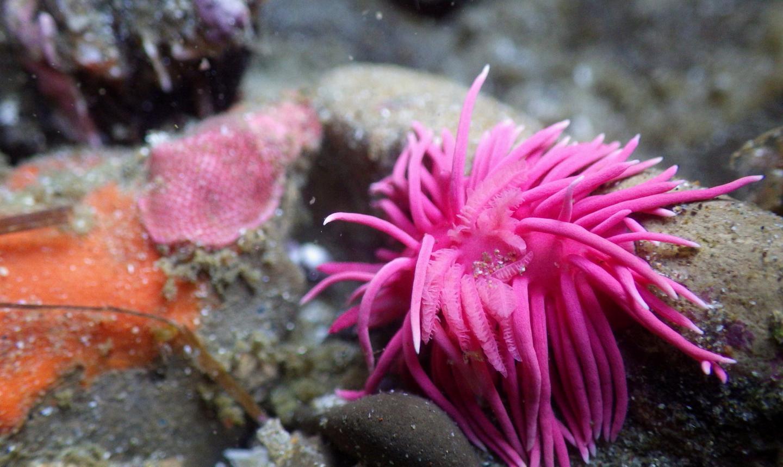 Hopkins' Rose Nudibranch