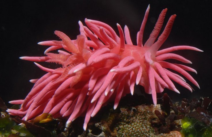 Okenia Rosacea Bloom