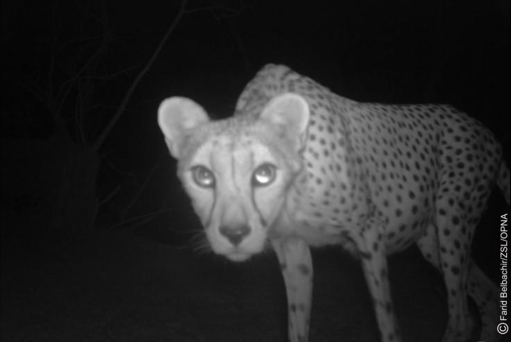 Saharan cheetah