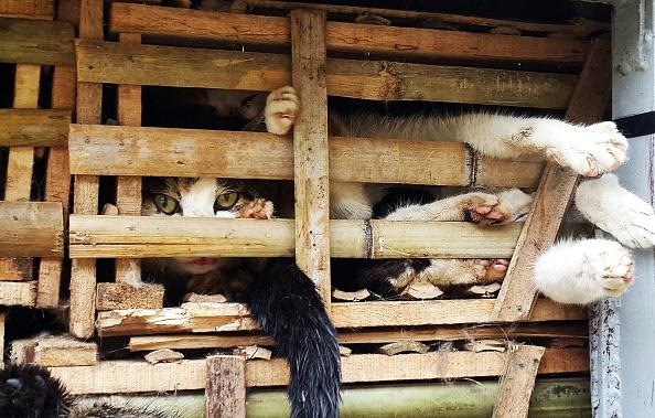 Vietnam cats