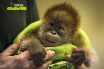 Rieke orangutan Zoo Berlin