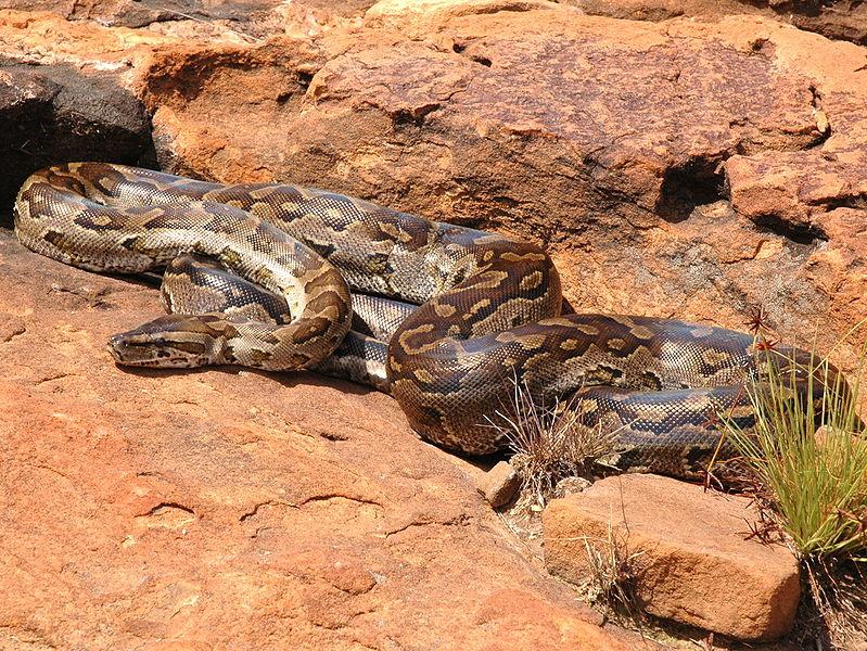 Southern rock python