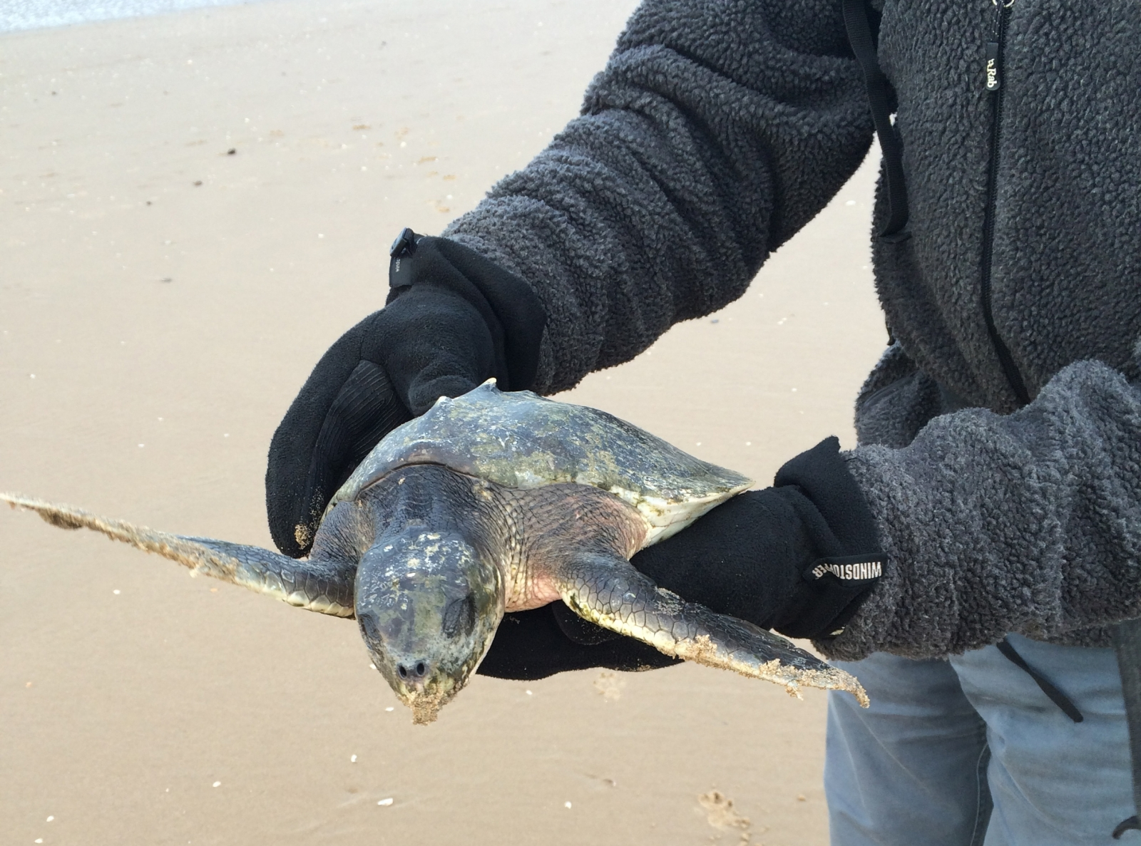 The Kemp's Ridley sea turtle found on Fomby beach, which is currently in rehab from swimming through cold waters