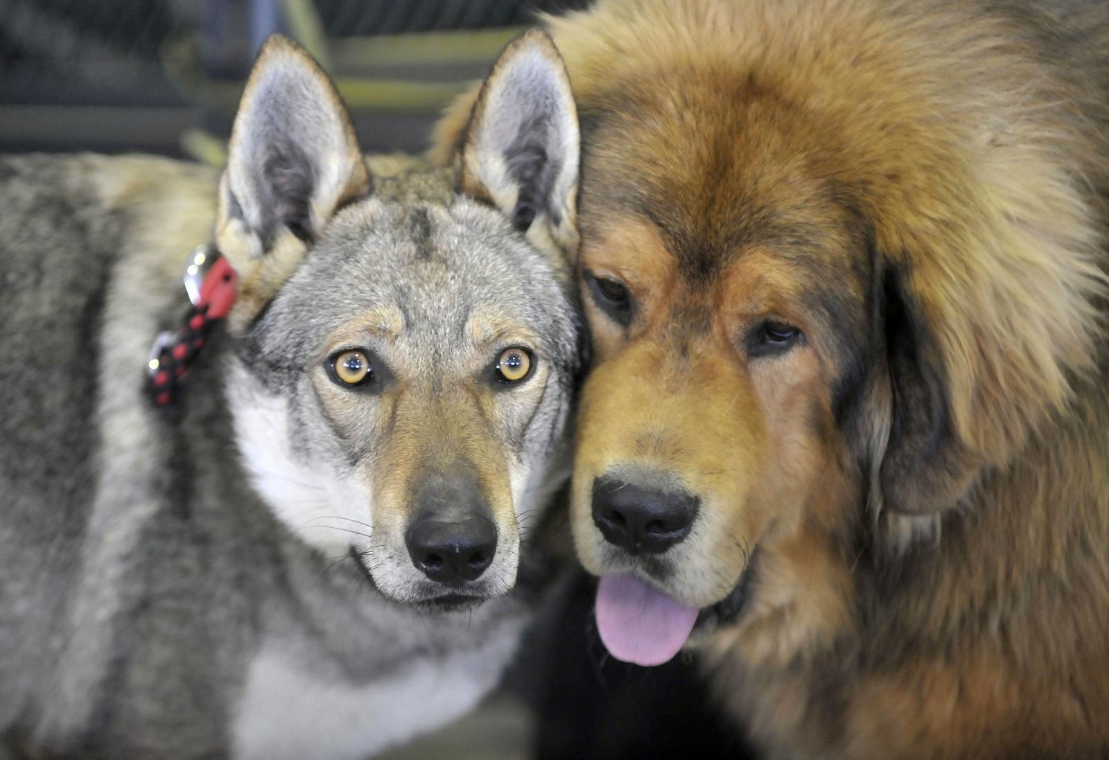 Czechoslovakian Wolfdog and a Tibetan Mastiff