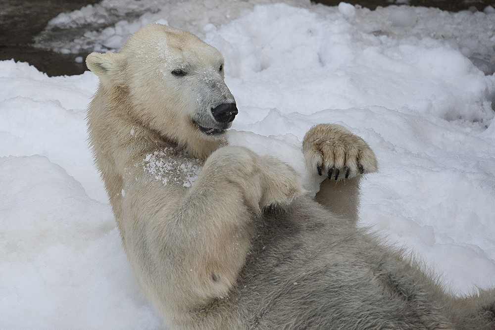 Special Polar bear collar aids scientists in vital research