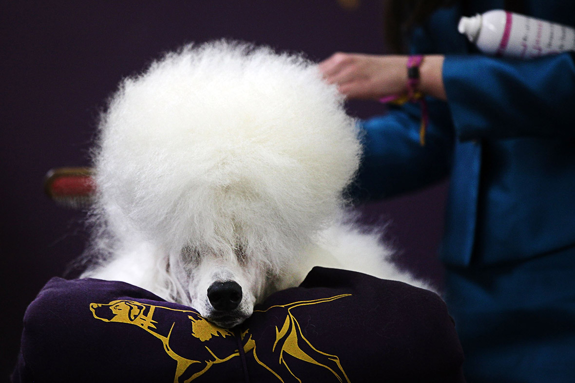 Westminster Kennel Club Dog Show 2015 Pampered Pooches
