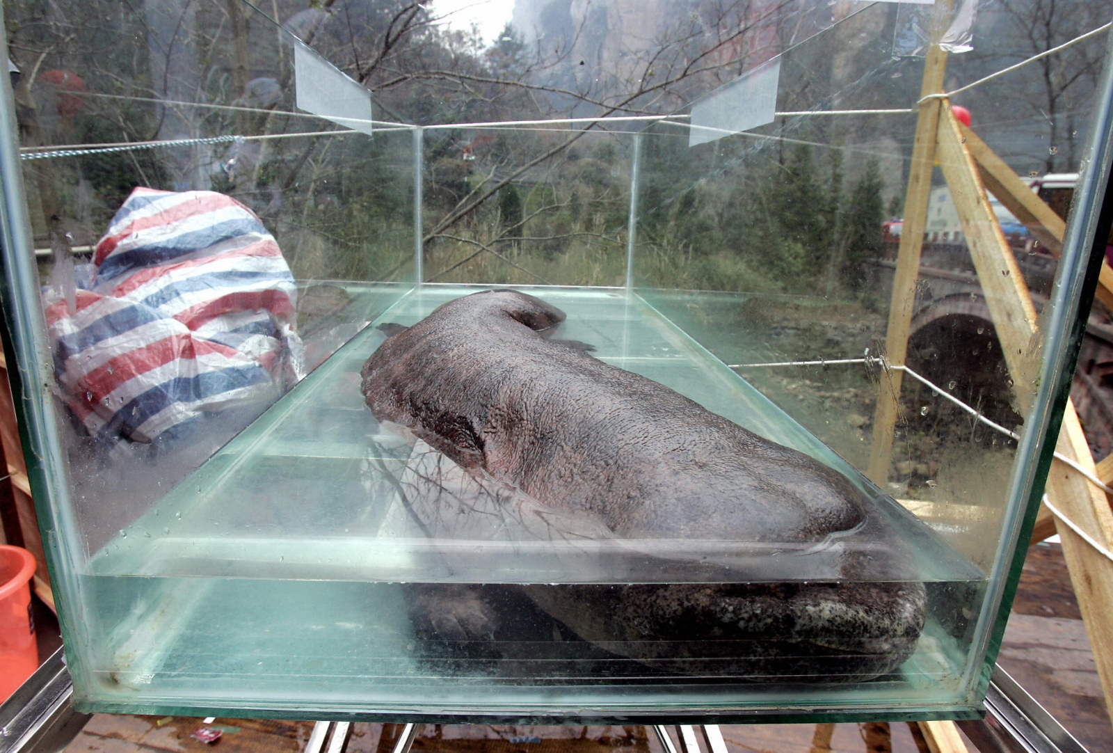 A Chinese police chief who ate a rare giant Salamander has been fired