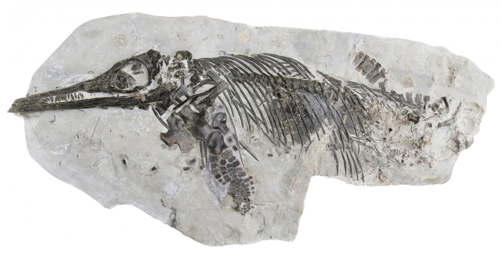 Ichthyosaurus anningae