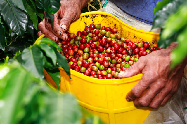 Colombia predicts boost in coffee output for 2015