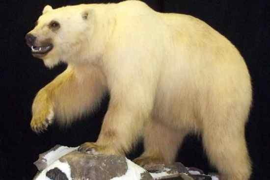 Grizzly-polar bear