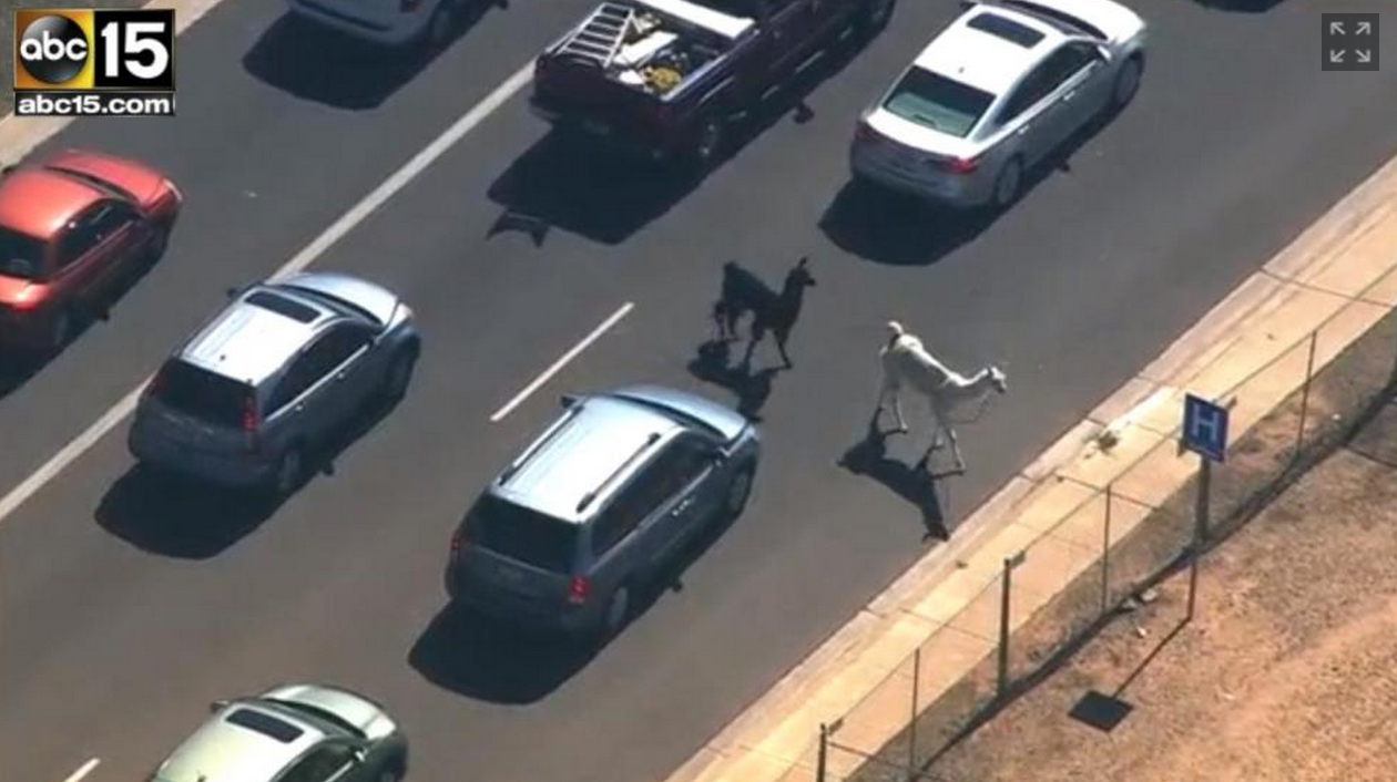 Llamas and #TheDress break the internet