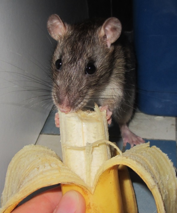 rat eating banana