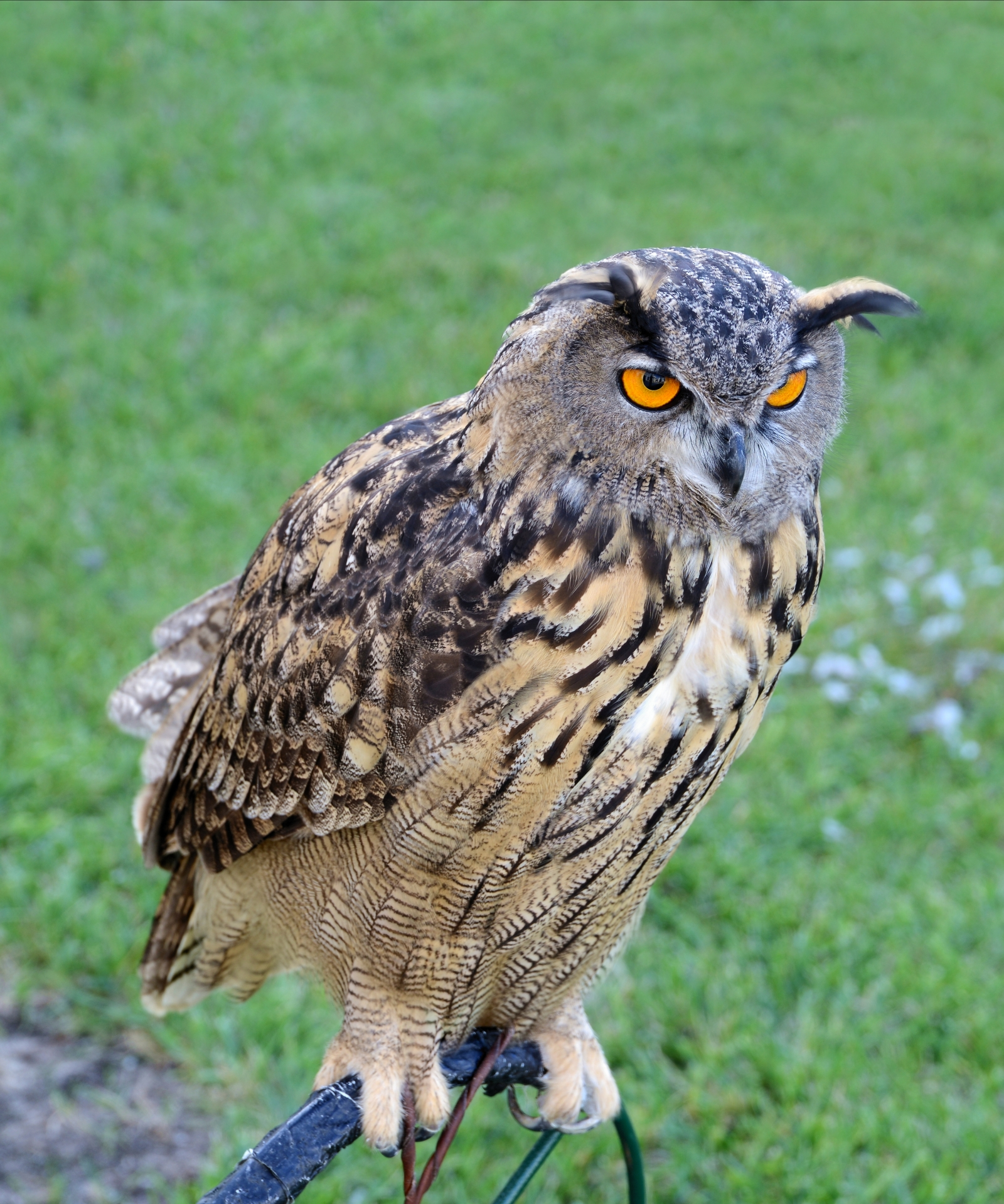 An eagle owl is attacking residents.