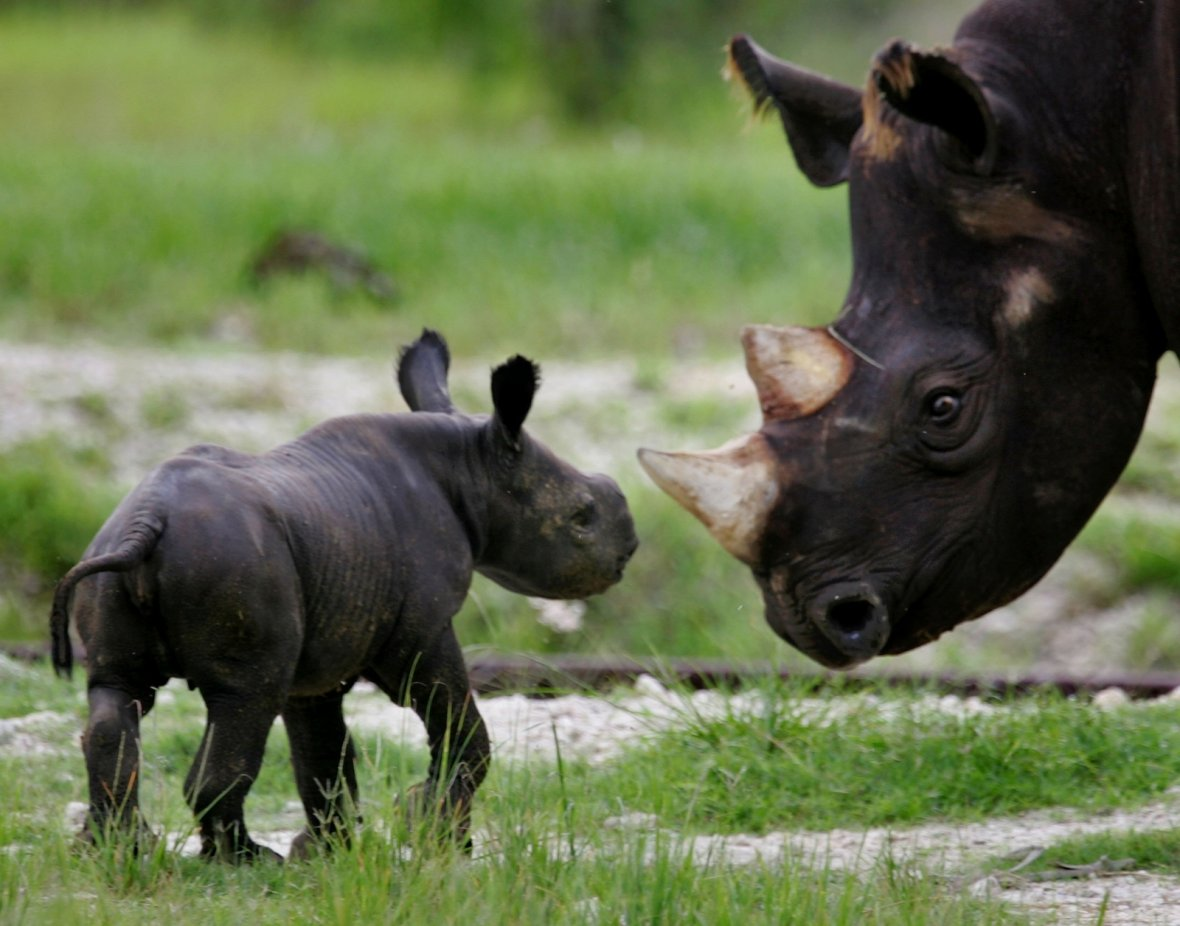 Black rhinos: Poaching of critically endangered species