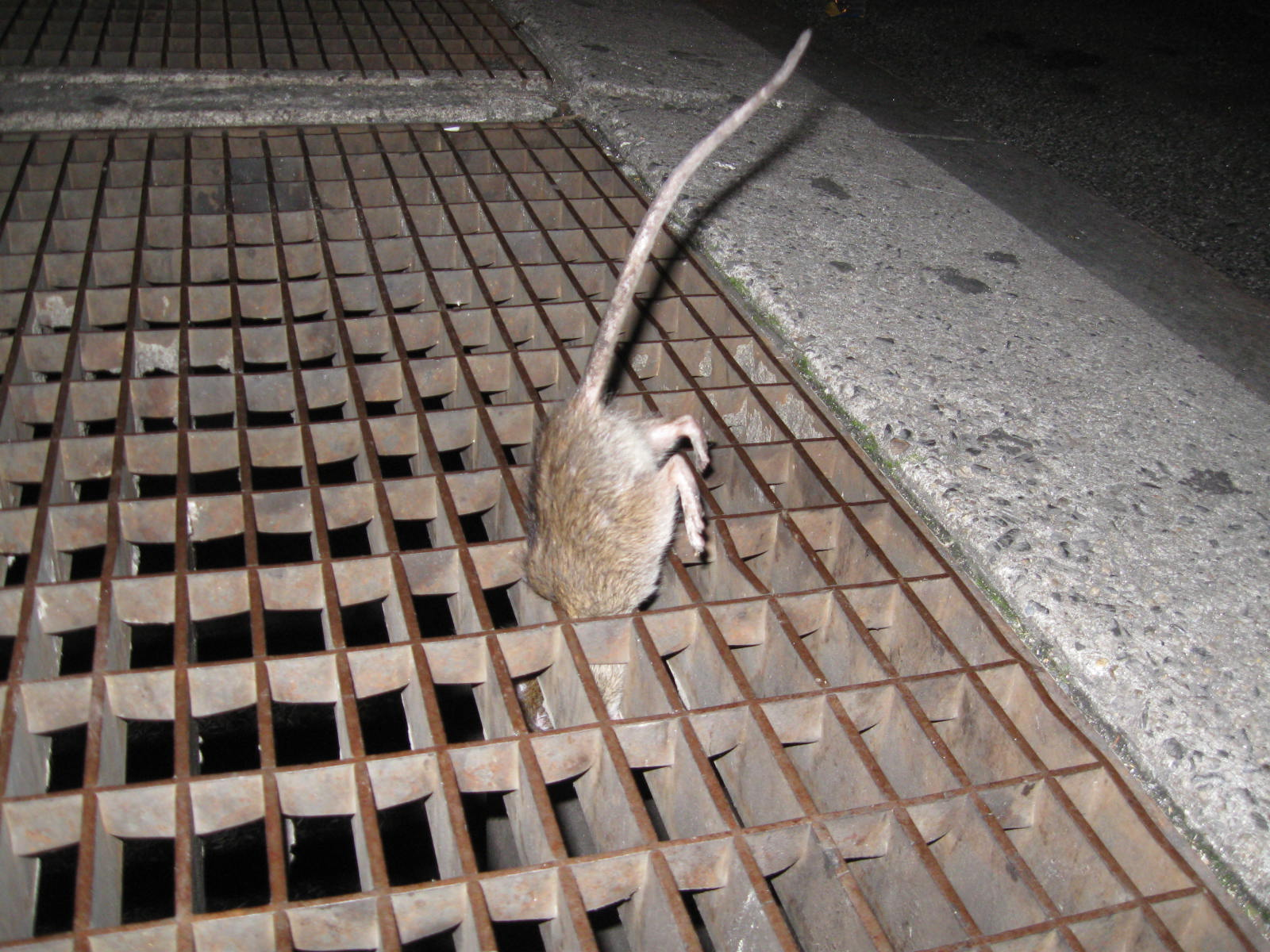 New York rat
