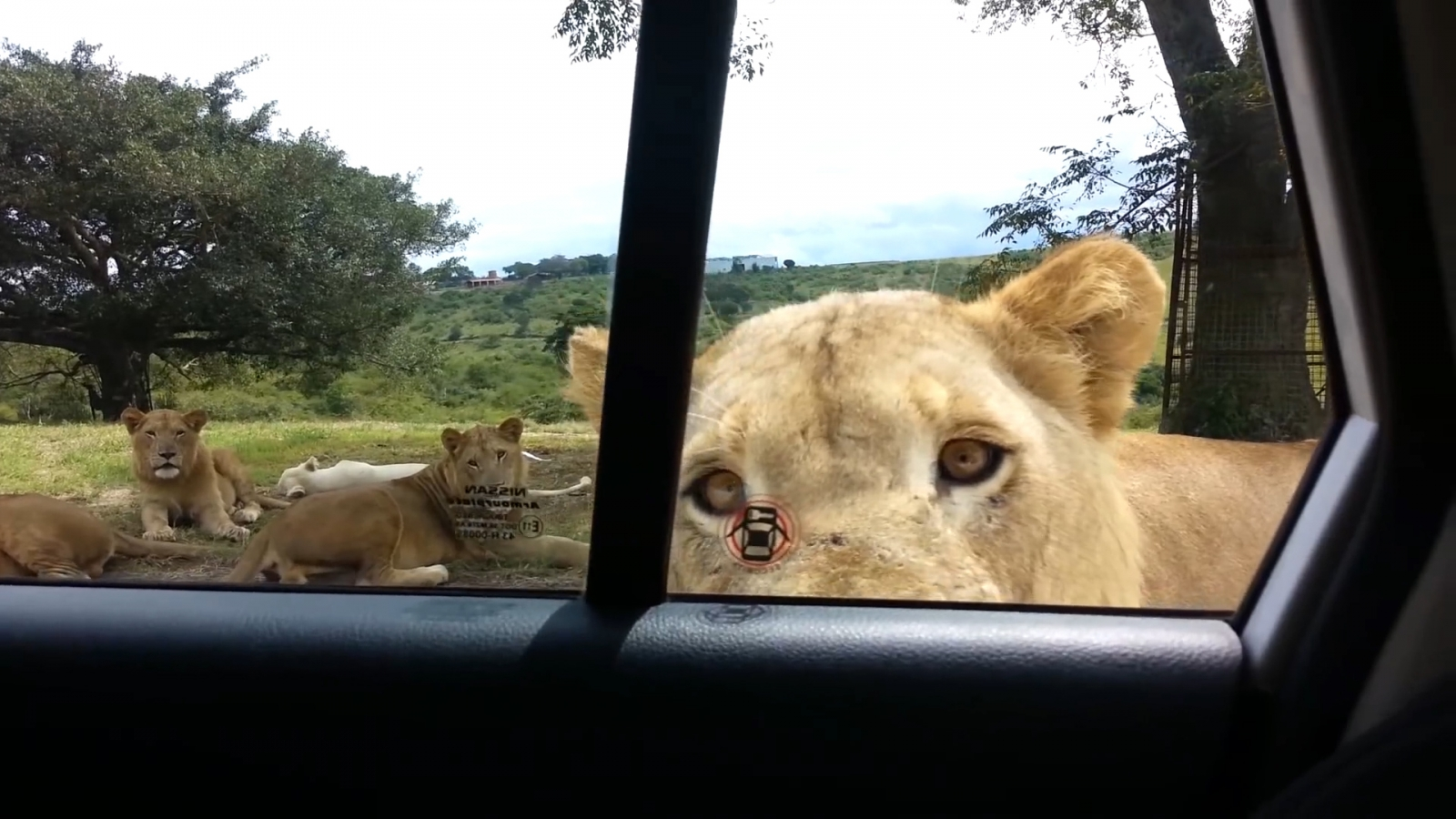 South Africa Safari Goers Scream As Lion Works Out How To