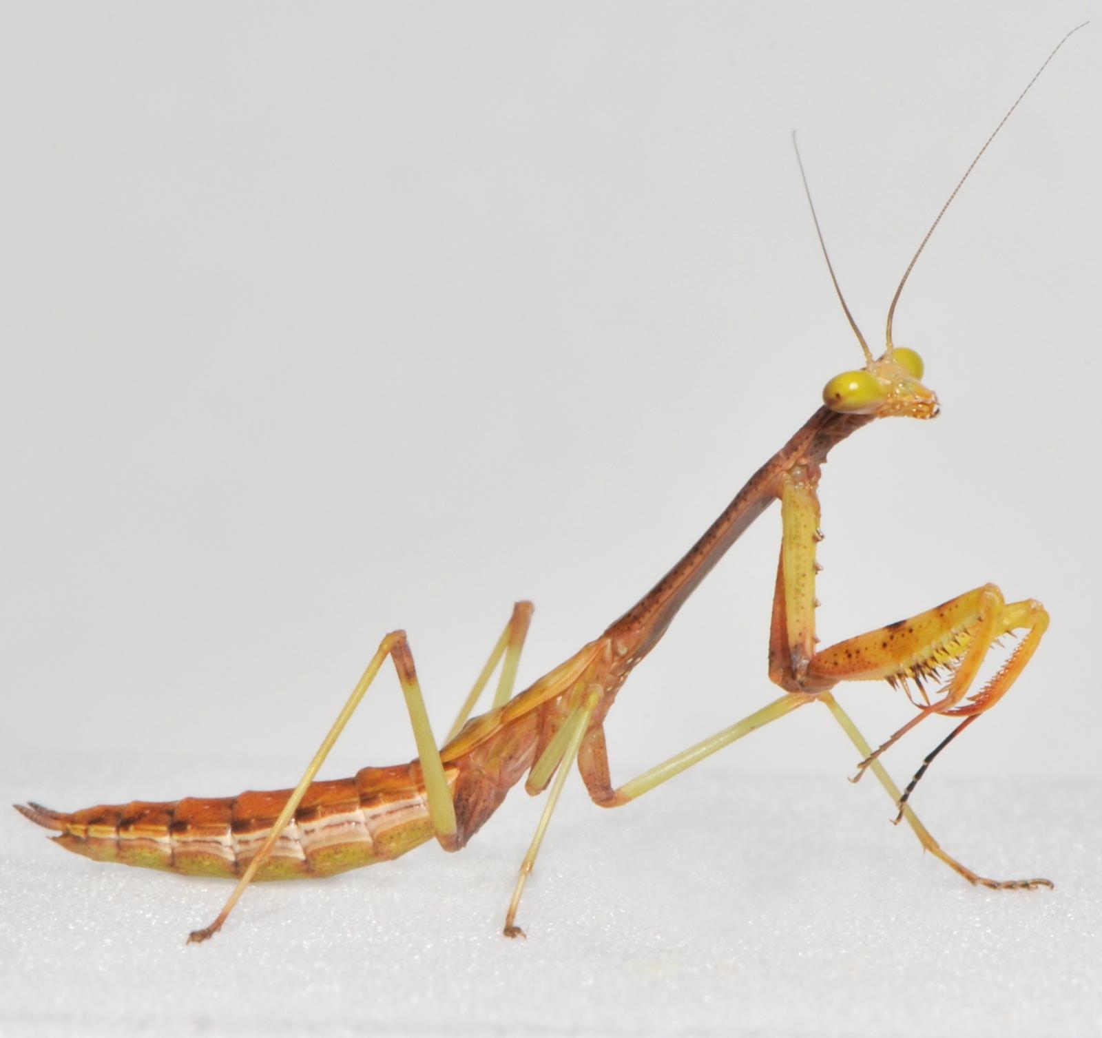 praying mantis jumping