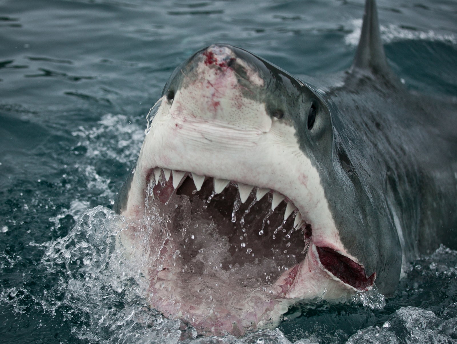 images of great white sharks - photo #34