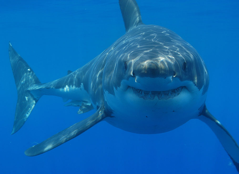 all the times humans tried to keep a great white shark in captivity