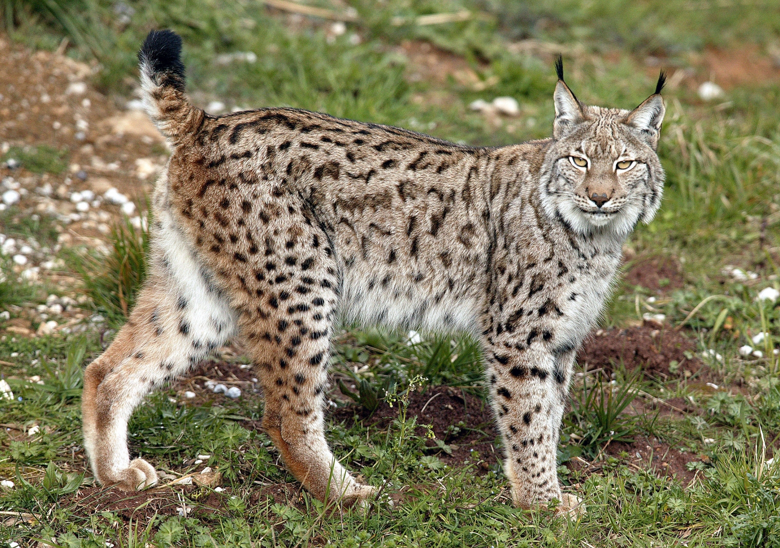 A Eurasian lynx