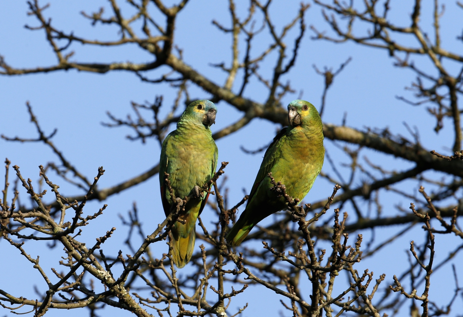opium addict parrots steals poppy juice