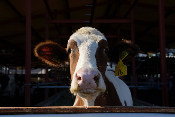 Scotland: Pregnant cow 'crushed woman to death' at ...