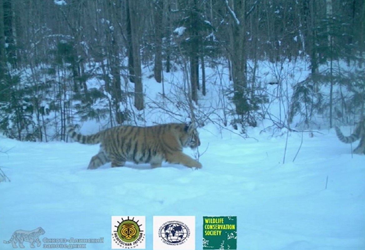 amur tiger family