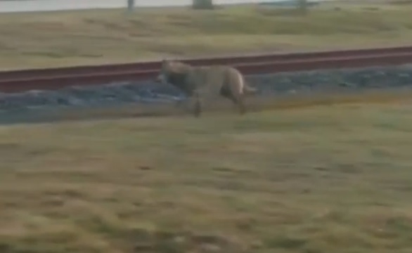 wolf in netherlands