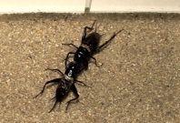 Crickets fighting