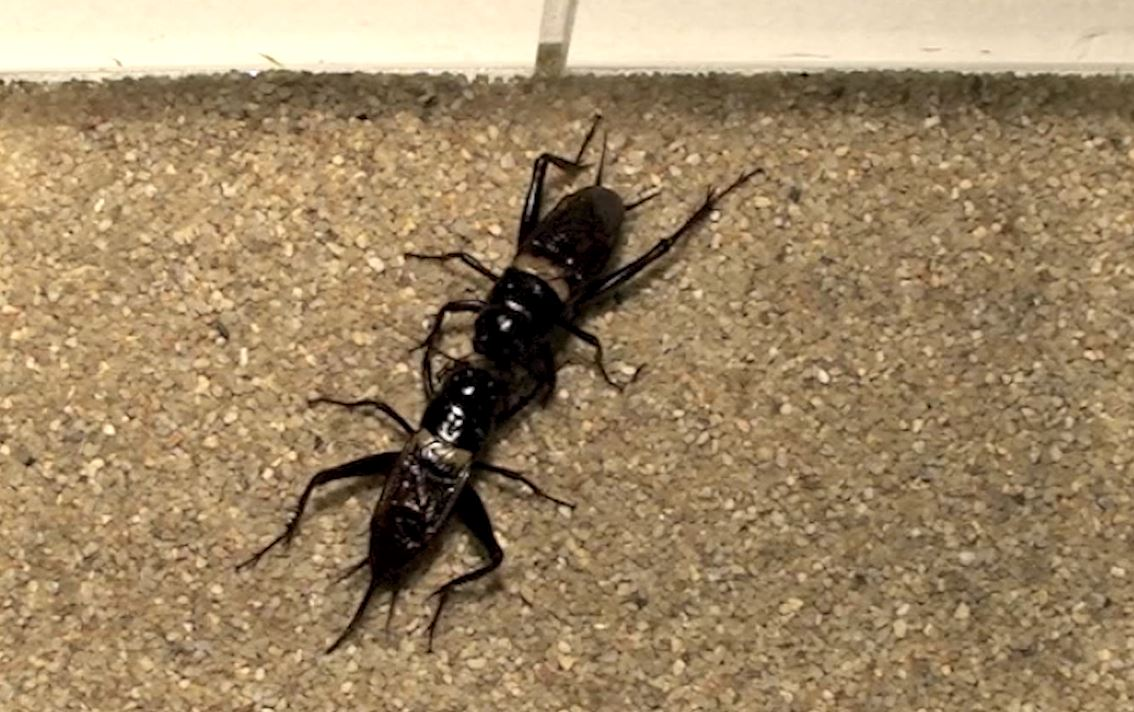 Crickets fighting