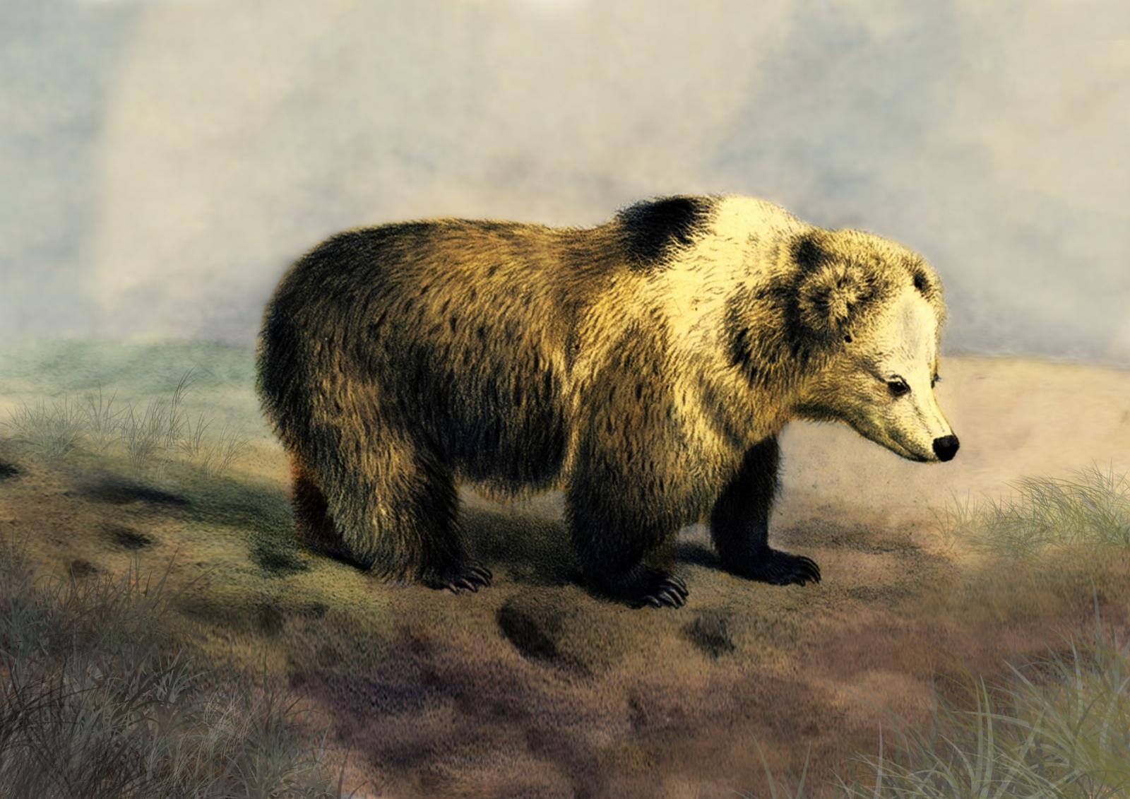 Yeti DNA: Bigfoot is not a big angry polar bear and there ... Himalayan Brown Bear Yeti