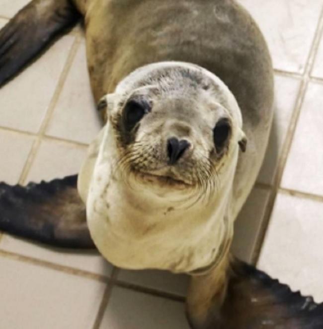 stranded sea lion in California