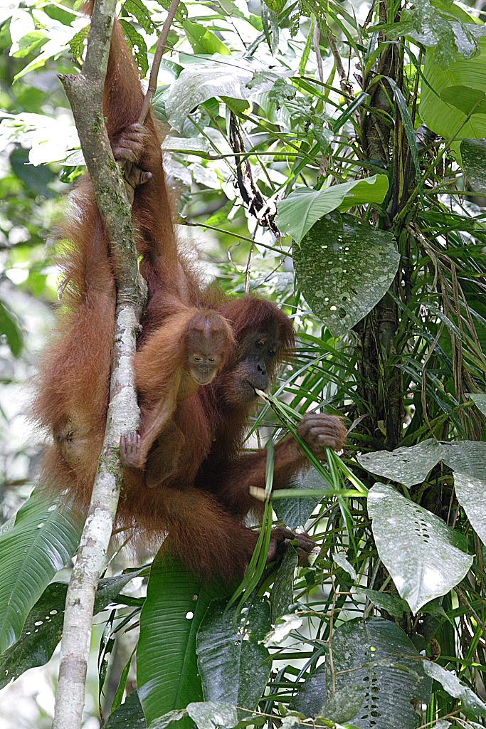 orangutan kiss squeak