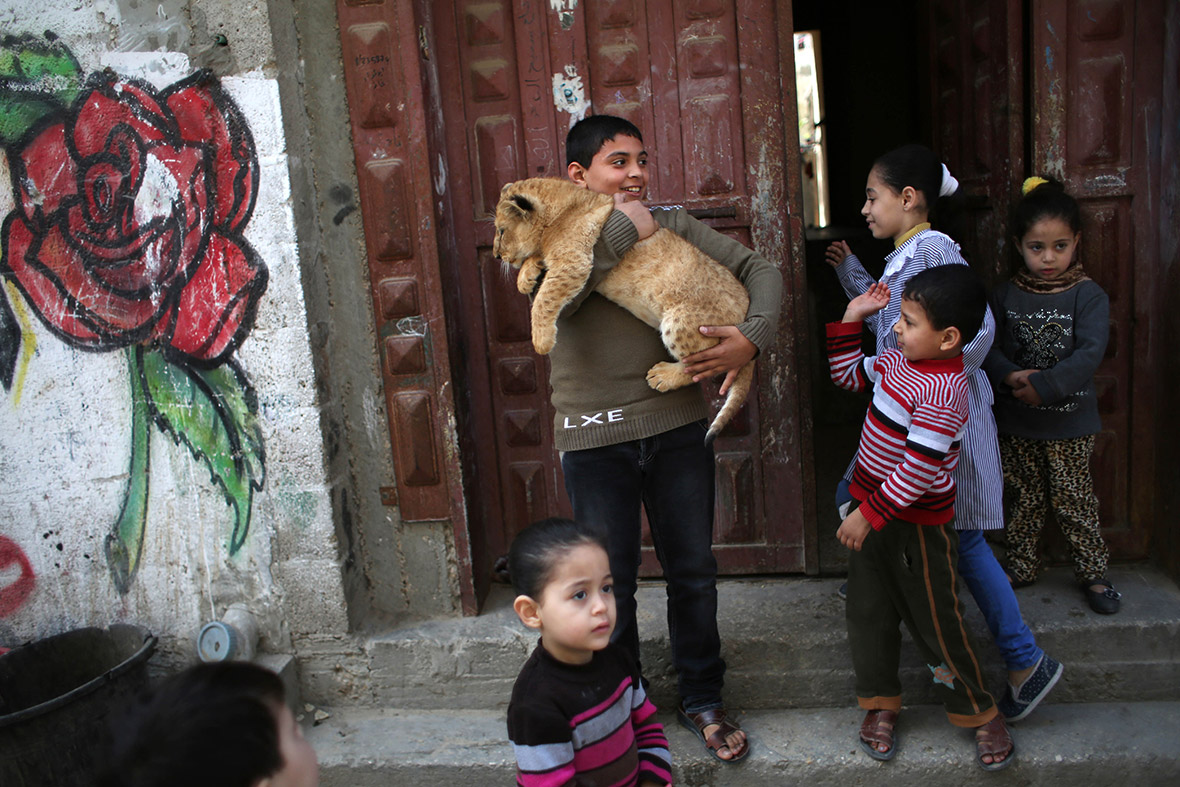 Gaza pet lion cubs