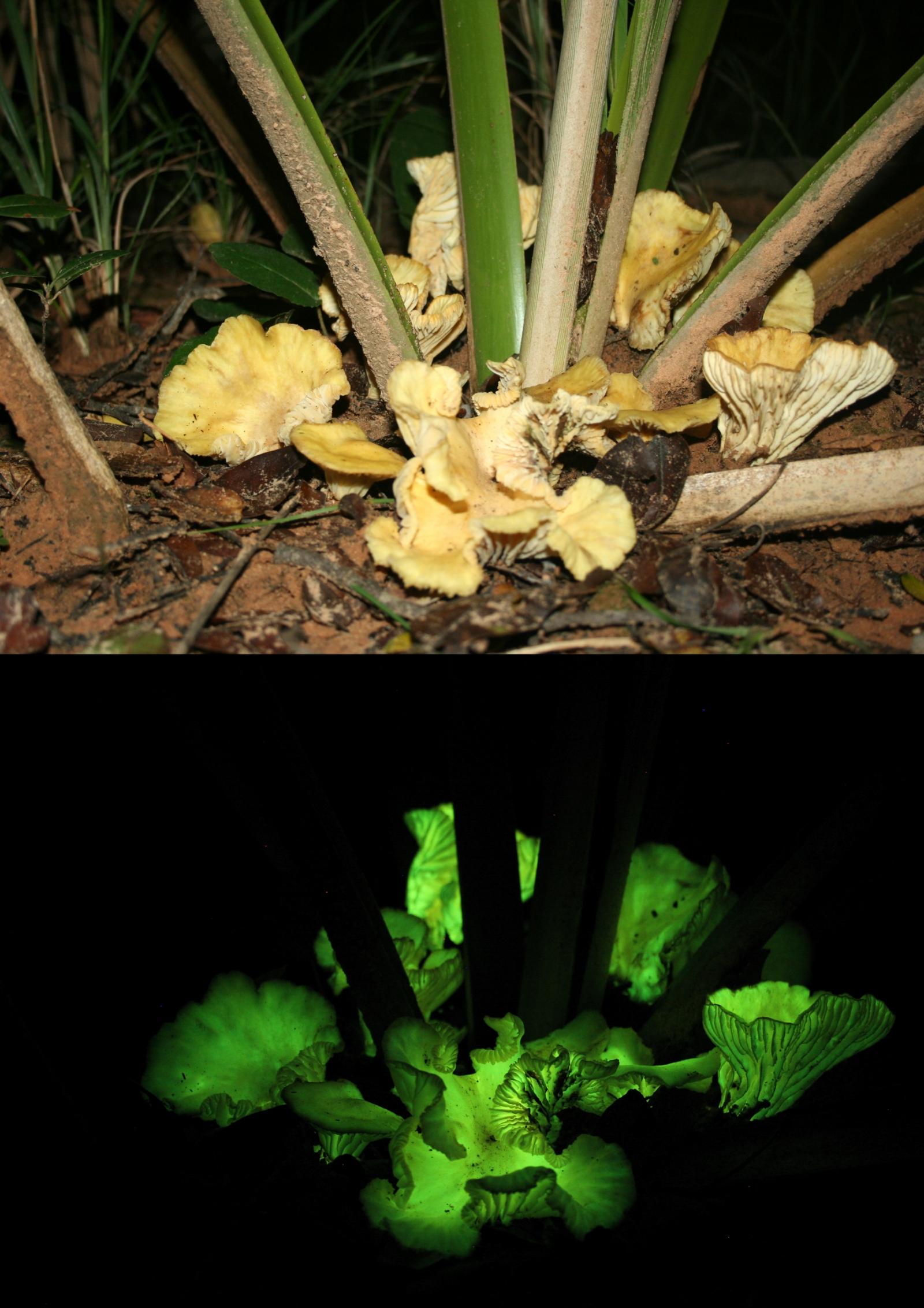 Glow-in-the-dark mushroom