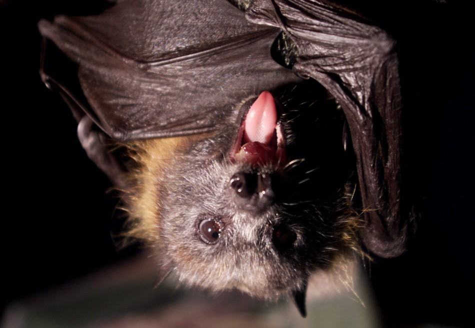 Vampire bats have now started sucking the blood of humans at night
