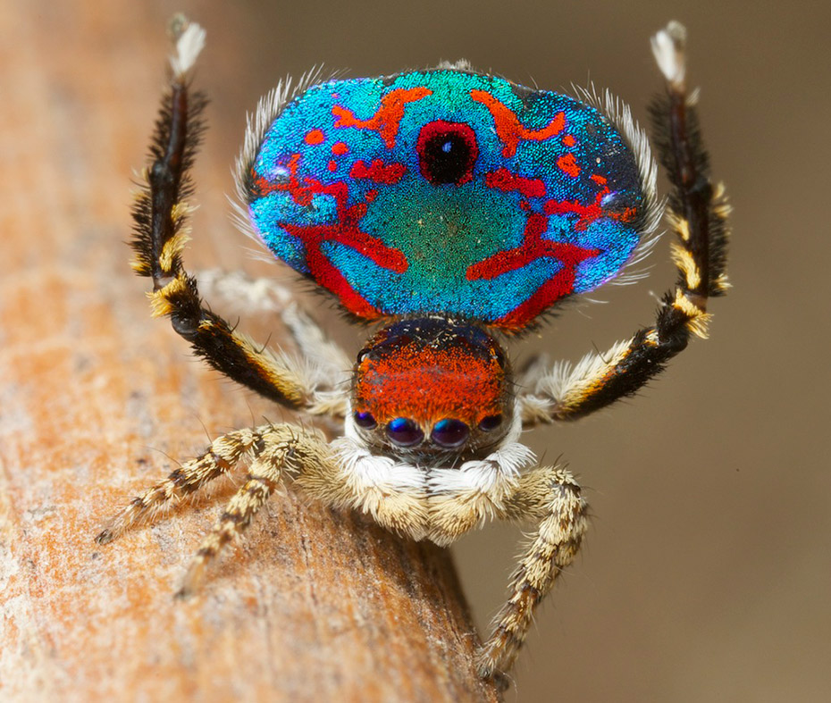 [Image: peacock-spiders.jpg]