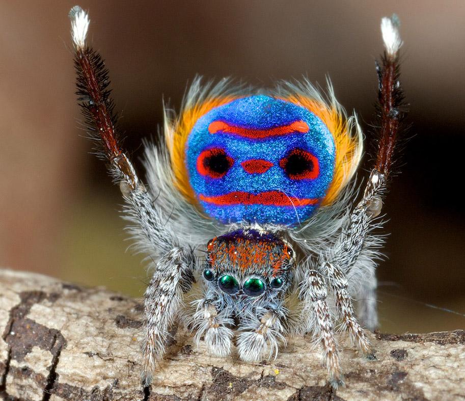 peacock-spiders.jpg