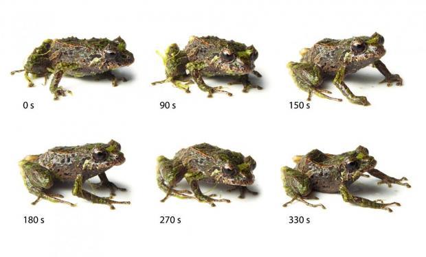 Shape-shifting frog