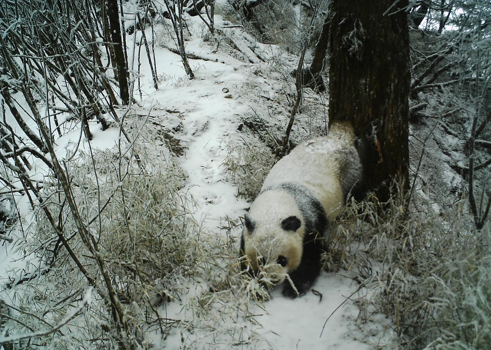 male panda scent marking