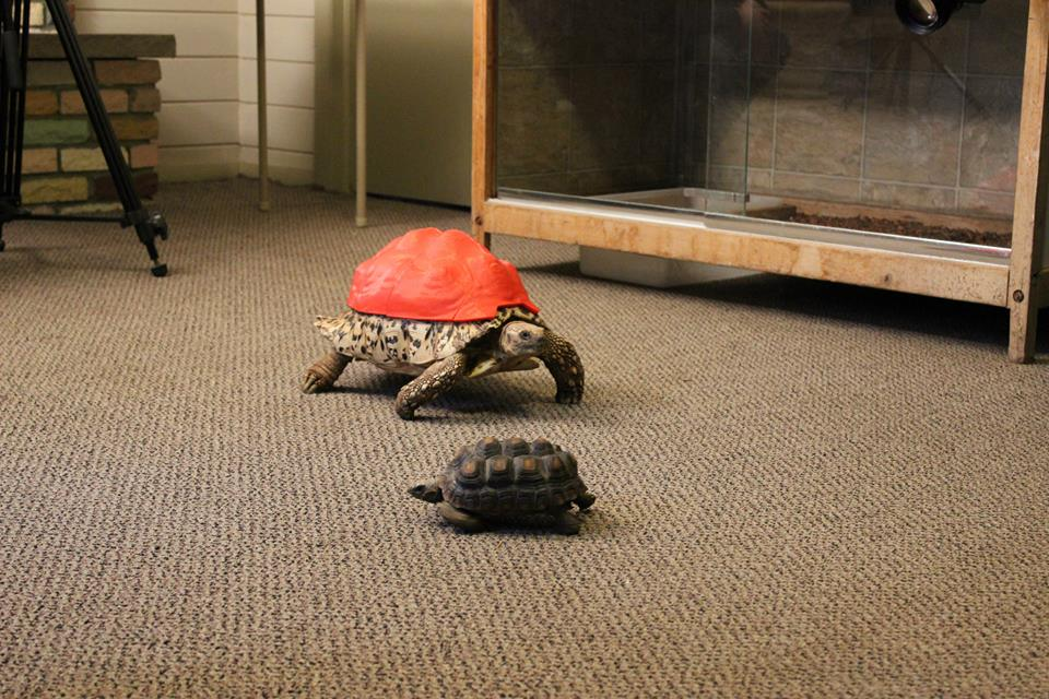 Tortoise wears a 3D printed shell