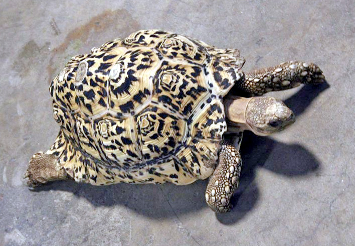 The tortoise without its new shell