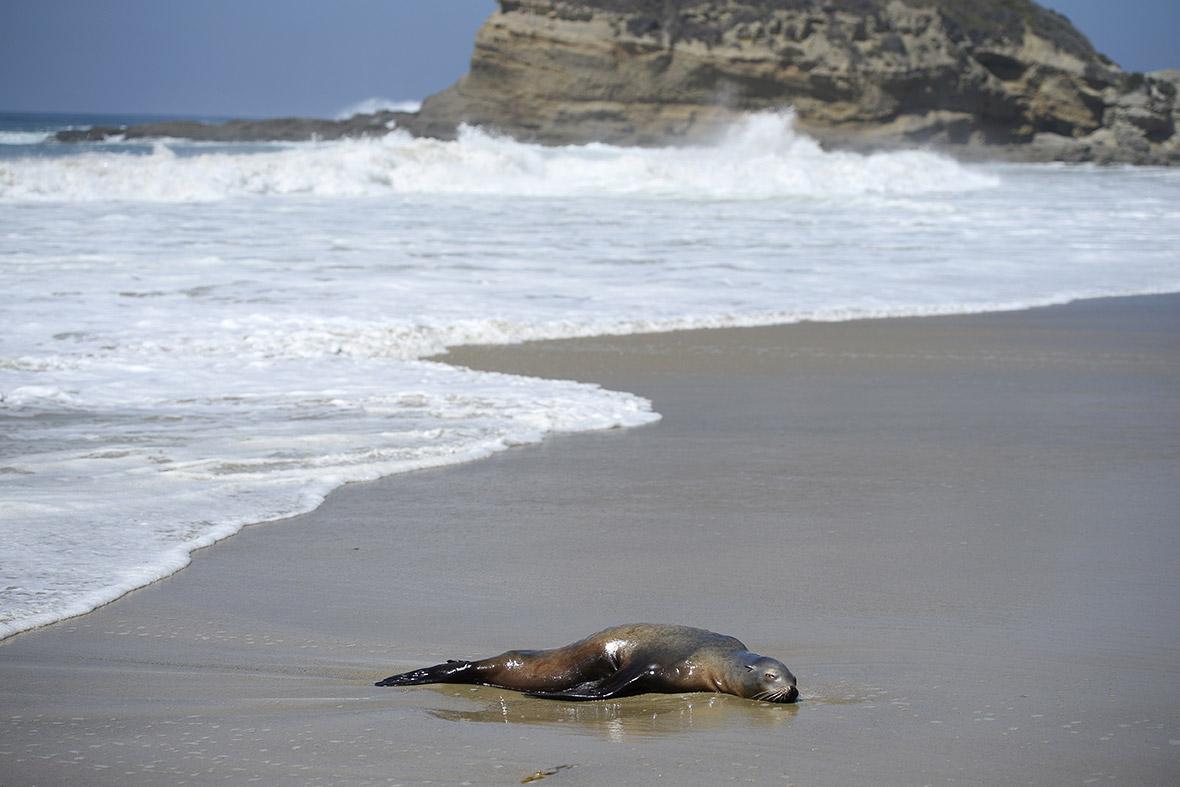 seals sea lions California