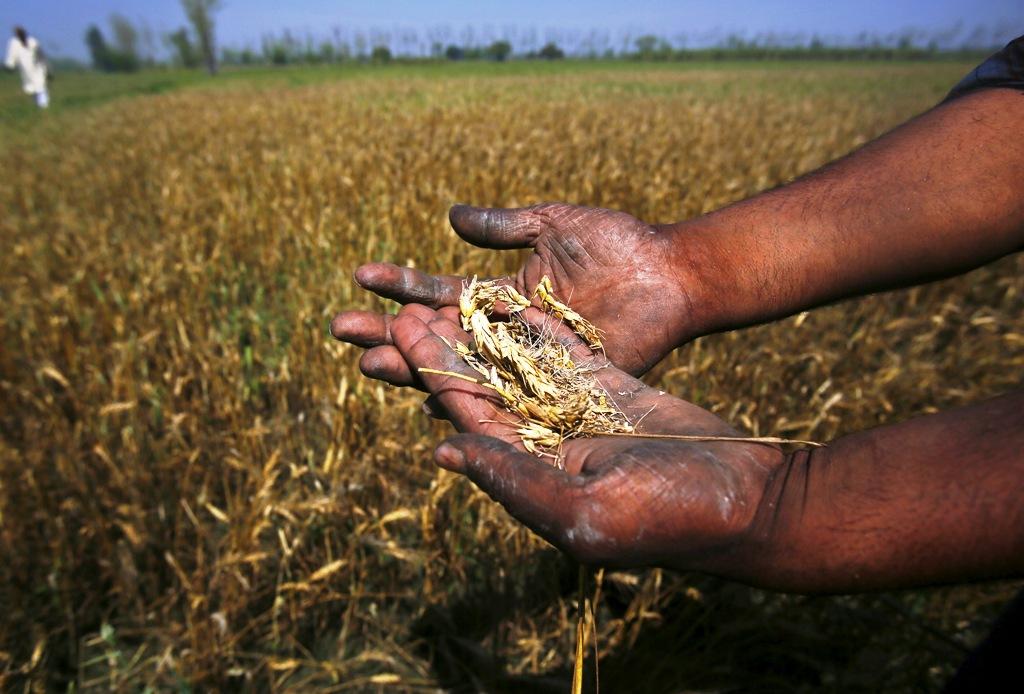 Damaged Wheat Crop in India