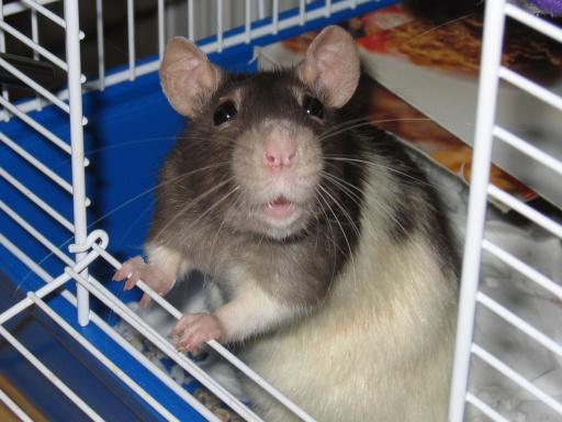 rats don't like sad